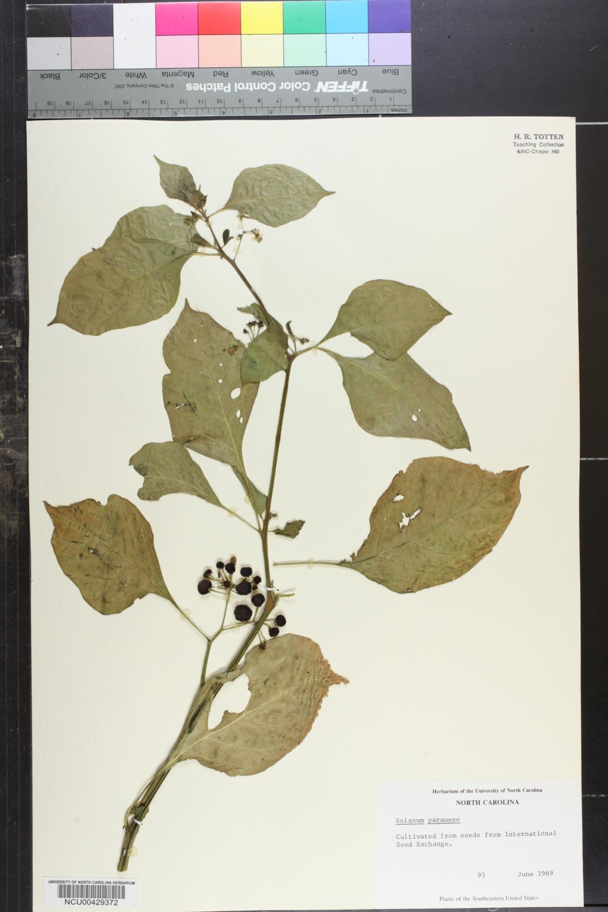 Solanum paranense image