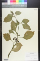Image of Solanum paranense