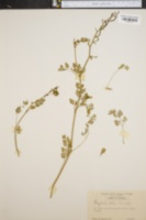 Image of Corydalis halei