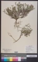 Giliastrum acerosum image