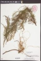 Eupatorium capillifolium image