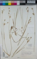 Luzula macrantha image