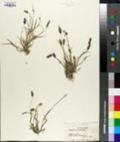 Pennisetum setigerum image