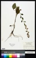 Brintonia discoidea image