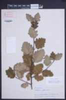 Sorbus intermedia image