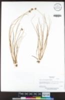 Juncus chlorocephalus image