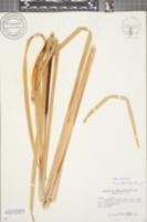 Typha latifolia image