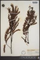 Image of Acacia pruinosa