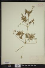 Erodium stephenianum image