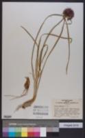 Image of Allium thunbergii