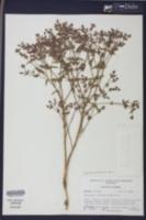 Euphorbia porteriana image