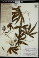 Lygodium circinnatum image