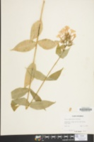 Image of Phlox amplifolia