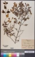 Cistus salviifolius image