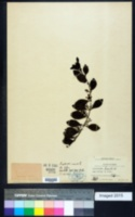 Image of Dendropemon bistriatus