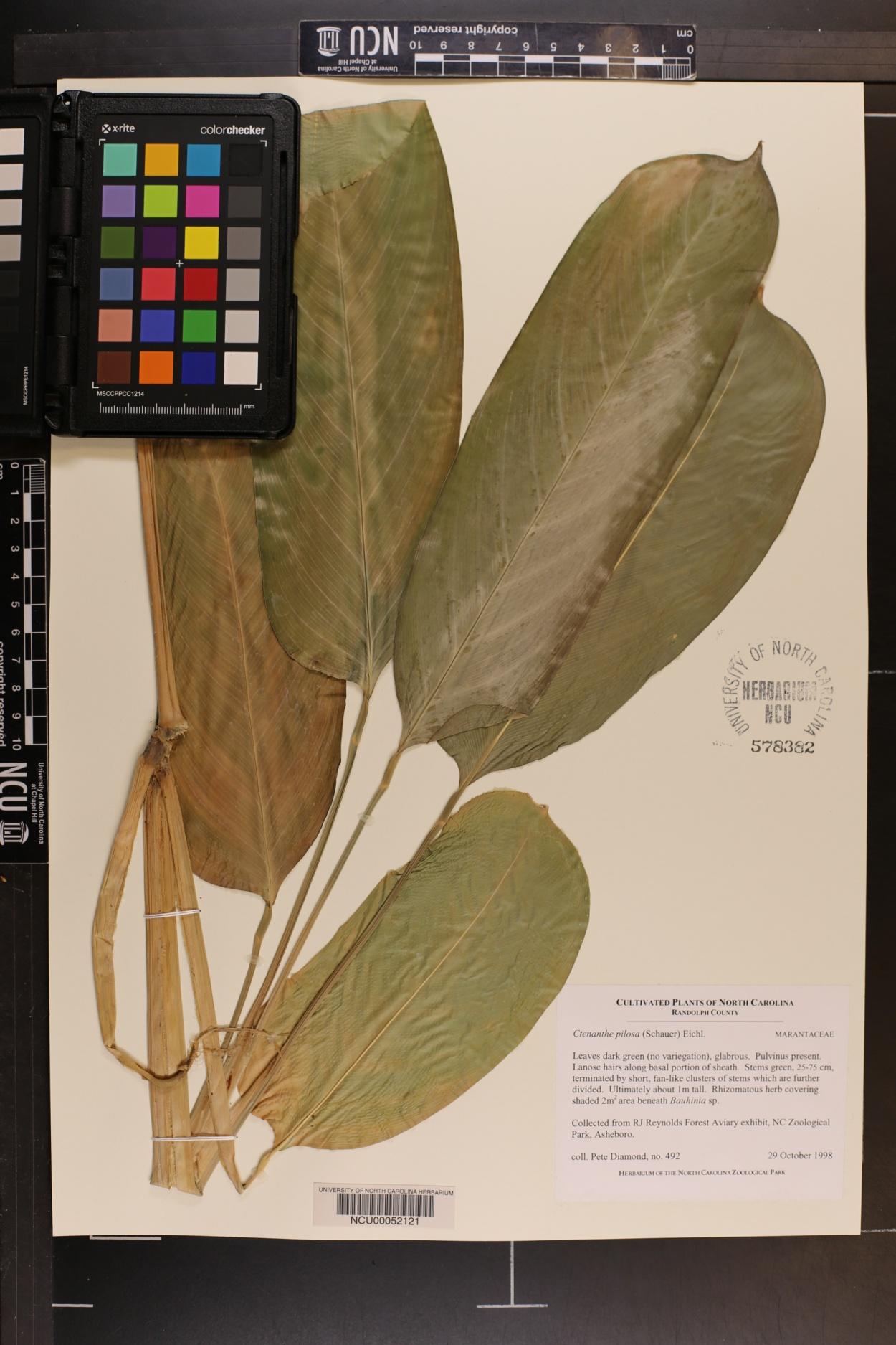 Ctenanthe marantifolia image