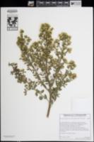 Image of Baccharis pilularis