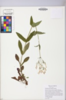 Image of Penstemon brevisepalus