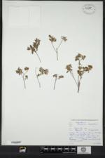 Image of Crocanthemum dumosum