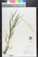 Dichanthelium × bicknellii image