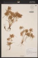 Image of Cyperus diandrus
