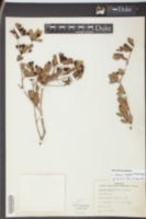 Psidium longipes image