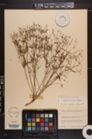 Euphorbia curtisii image