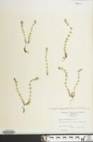 Image of Cruciata pedemontana