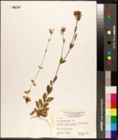 Image of Erythraea centaurium