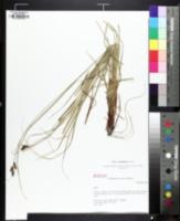 Image of Carex caroliniana