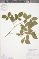 Image of Rhamnus arguta