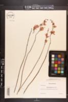 Bletia purpurea image