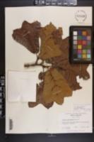 Quercus marilandica var. marilandica image