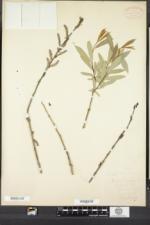 Salix purpurea image