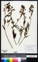 Image of Baccharis oxyodonta