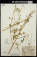 Peritoma lutea image