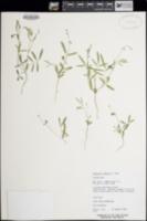 Tephrosia tenella image