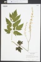 Actaea podocarpa image