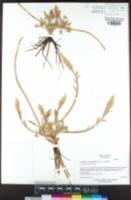 Eryngium alismifolium image