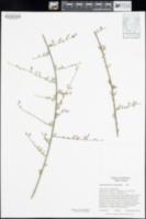 Stephanomeria paniculata image