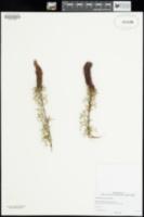 Image of Grevillea paradoxa
