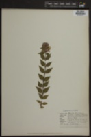 Abelia triflora image
