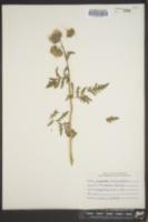 Image of Phacelia franklinii