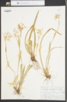 Image of Juncoides saltuense