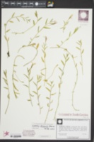 Lobelia chinensis image