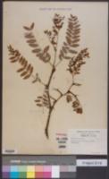 Image of Gleditsia sinensis