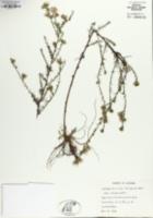 Symphyotrichum priceae image