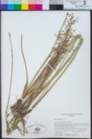 Juncus dubius image