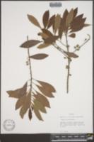 Bumelia salicifolia image