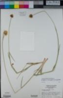 Eriophorum crinigerum image